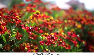 Honey Bees working with red flower.
