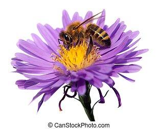 honey bij, op, violet bloem, vrijstaand, op wit, achtergrond