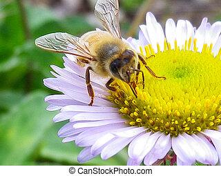 honey bij, op wit, madeliefje
