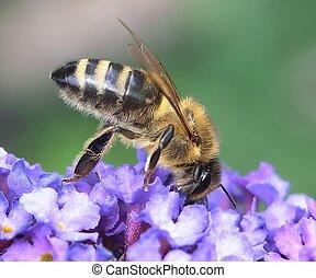 honey bij
