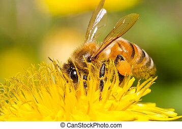 honey bij, werken hard, op, paardenbloem, bloem