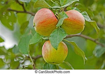 three honey-crisp apples on the tree