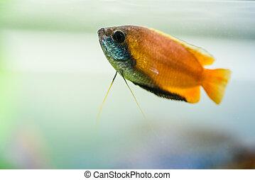 Honey gourami Trichogaster chuna tropical aquarium fish in ...