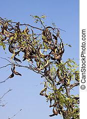 Honey locust (Gleditsia triacanthos) - From the Honey locust...