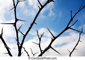 Honey Locust Thorns - Winter Honey Locust tree thorns...
