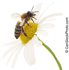 Honeybee and white flower head isolated on a white ...