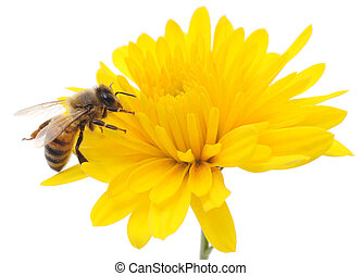 Honeybee and yellow flower head isolated on a white ...