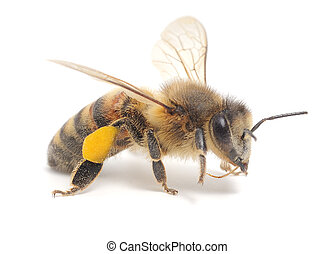honeybee - Closeup shot of a bee isolated on white...