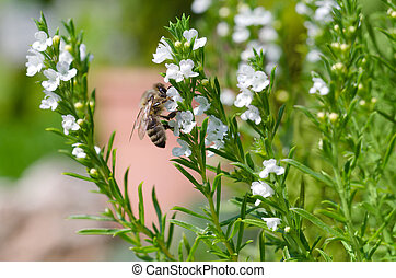 Honeybee extracting nectar from thyme flowers