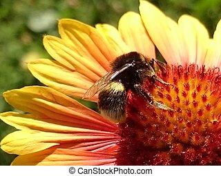 Honeybee Harvesting Pollen