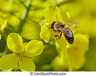 Honeybee on a canola flower