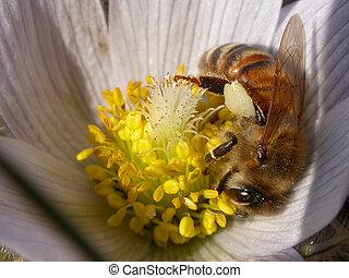 honeybee on a spring crocus - honeybee collecting pollen...