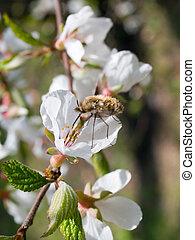 honeybee on blooming branch of cherry