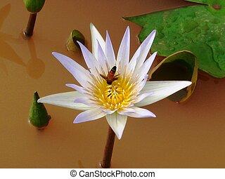 honeybee on nectar of lotus