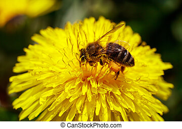 Honeybee on wild yellow flower closeup