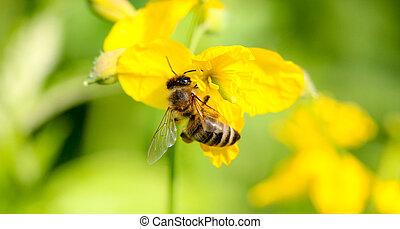 Honeybee on yellow flower head