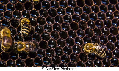 Honeycomb: Bees Eating Honey. Time lapse