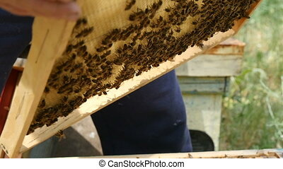 Honeycomb is taken from a beehive covered with honey and...