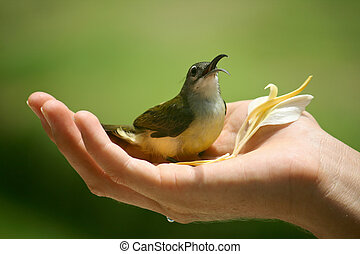 Honeyeater bird cupped in hand with flower