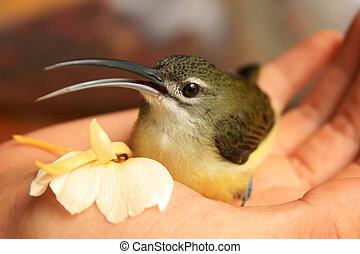 Honeyeater bird sitting in hand with flower