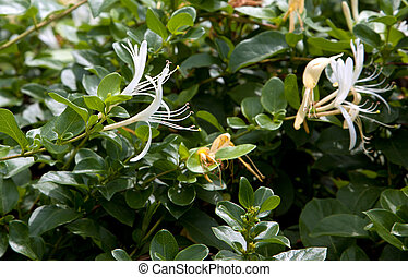 A close up of flowers on honeysuckle.
