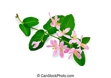 Honeysuckle sprig with pink flowers and green leaves isolated on white background