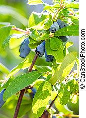 Honeysuckle berries at branch  - Lonicera kamtschatica - ...