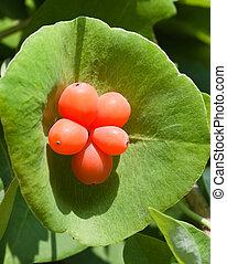 Honeysuckle berries (Lonicera caprifolium)