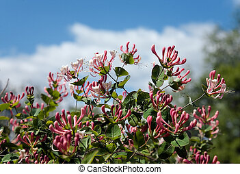 Honeysuckle blossoming on a background of the sky with clouds