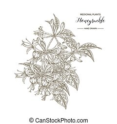 Honeysuckle branch. Hand drawn flowers and leaves of lonicera japonica. Medical plants collection. Vector illustration botanical. Engraving style.