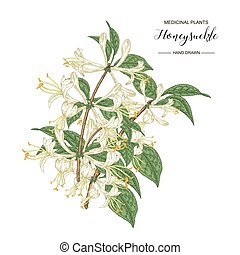 Honeysuckle branch. Hand drawn flowers and leaves of lonicera japonica. Medical plants collection. Vector illustration botanical.
