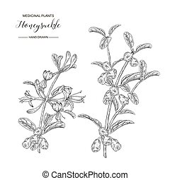 Honeysuckle branch with flowers and ripe berries. Lonicera japonica. Medical plants hand drawn. Vector botanical illustration. Black and white graphic.