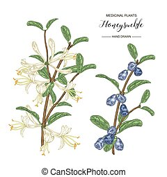 Honeysuckle branch with flowers and ripe berries. Lonicera japonica. Medical plants hand drawn. Vector botanical illustration.