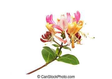Honeysuckle flower and leaves isolated against white
