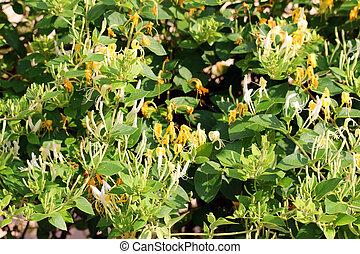 Honeysuckle flower, closeup shot, like nice background.