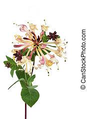 Honeysuckle Flower - Honeysuckle flower isolated over white ...
