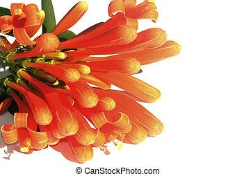 honeysuckle flower on white background