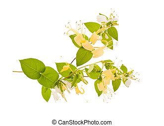 honeysuckle Sprig with flowers isolated on white background