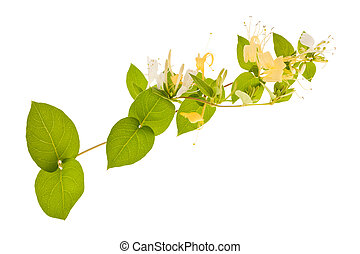 Honeysuckle - honeysuckle Sprig with white flowers and green...