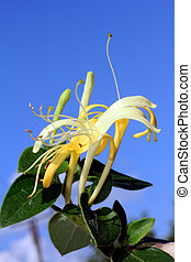 Closeup shot of honeysuckle flower, with blue sky in the background.