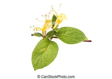 Honeysuckle, Lonicera, flower and leaves isolated against white