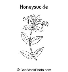Honeysuckle Lonicera periclymenum , or woodbine, medicinal plant. Hand drawn botanical vector illustration
