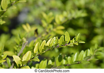 Honeysuckle Maigrun - Latin name - Lonicera ligustrina var. yunnanensis Maigrun (Lonicera nitida)