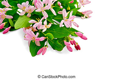 Bouquet of honeysuckle branches with pink flowers and green leaves isolated on white background