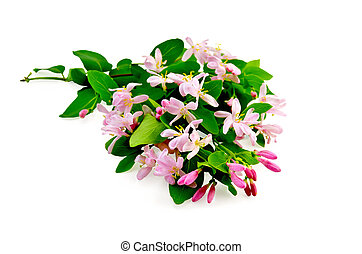 Honeysuckle with pink flowers lush