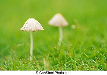 Hongos pasto o c sped venenoso hongos hariolorum for Hongos en el cesped jardin