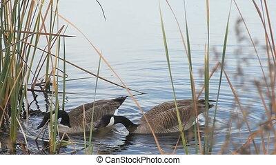 honking Canada goose