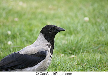 Hooded Crow Close-Up
