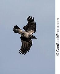 Hooded Crow (Corvus cornix) - Hooded Crow in flight with ...