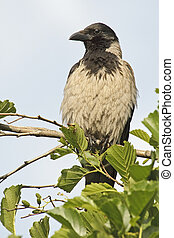 Hooded Crow (Corvus cornix) - Hooded Crow resting on a ...